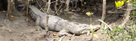 crocodile spotted on a tour in the daintree national park